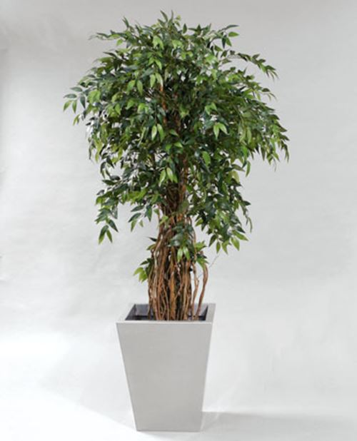 french-ficus.jpg